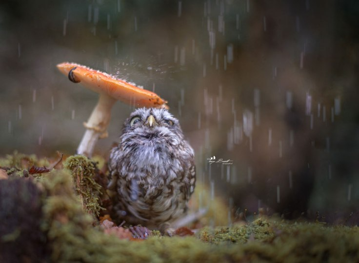 animal-photo-owl-hide-rain-mushroom-podli-tanja-brandt-13