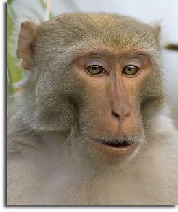 rhesus-monkey-silver-river