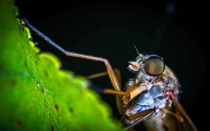macro photography of brown mosquito